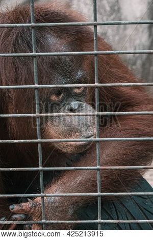 A Monkey Feeling Loneliness And Sadness Behind Jail. The Eyes Of A Monkey As A Result Of Being Place