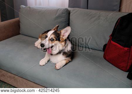Welsh Corgi Pembroke Tricolor Is Resting In Dog Friendly Hotel And Enjoying Life. Corgi Dog Traveler