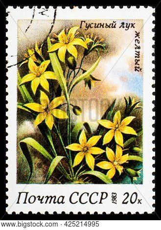 Russia, Ussr - Circa 1983: A Postage Stamp From Ussr Showing Flowers Gagea Lutea