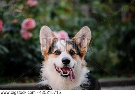 Portrait Of Beautiful Corgi Against Background Of Pink Roses And Green Thickets Of Various Plants. D