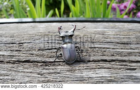 Male Stag Beetle With Long And Sharp Jaws In Wild Forest Sitting On The Trunk Of An Oak Tree. Beetle