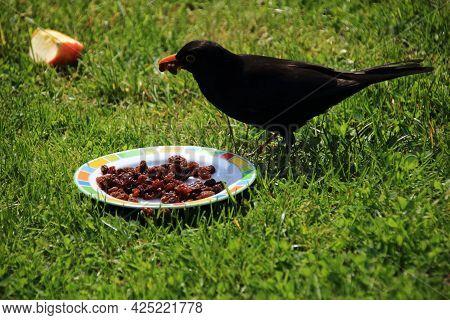 Hungry Blackbird Pecks Raisins From A Plate