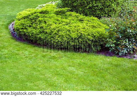 Evergreen Arborvitae Bush Of Thuja In A Backyard Flower Bed, Landscaped Garden Bed With Lawn And Cop