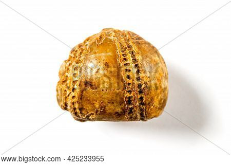 Sea Urchin Fossil Isolated On White Background
