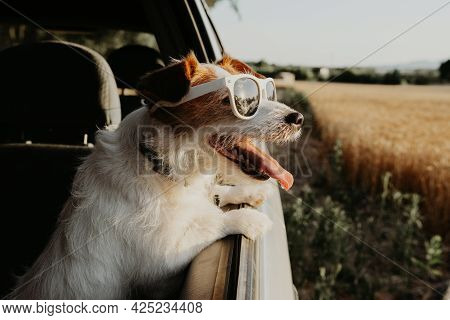 Jack Russell Dog Looking Out Car Window On Summer. Traveling With Pets And Road Trip Concept