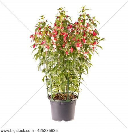 Potted Pink And White Fuchsia Flowers Isolated On White Background
