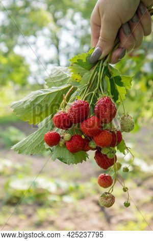 Summer Ripe Fresh Juicy Strawberries With Leaves In The Garden. Copy Space. Strawberry Field On A Fr