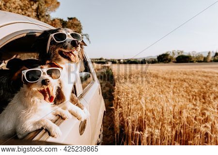 Jack Russell And Border Collie Dog Looking Out Car Window On Summer. Traveling With Pets And Road Tr