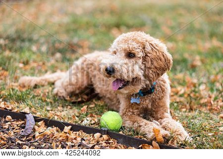 Young Labradoodle Plays Fetch With A Tennis Ball