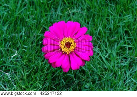 Top View Of Purple Zinnia Violacea Flower Isolated On Grass Background