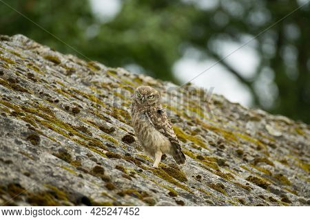 A Little Owl (athene Noctua) Looking At You From Heavily Weathered Asbestos Cement Corrugated Roofin