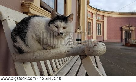 White And Black Spotted Cat Sitting On Bench And Looking Grumpy. Street Cat Outdoor