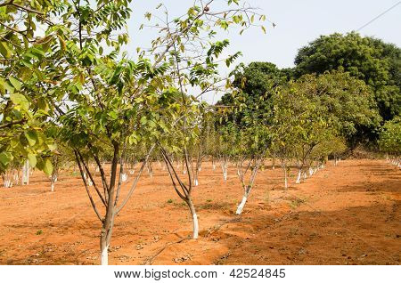 Sugar Apple trees