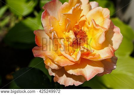 Beautiful Orange Rose In The Rose Garden