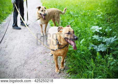 Two Ginger Dogs Walking On Leashes Next To A Green Lawn, Human Legs In The Background