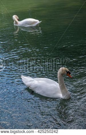 Two Graceful White Swans Swim In The Dark Water. The Mute Swan, Cygnus Olor