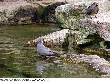 Inca Tern, Larosterna Inca, By The Water. High Quality Photo