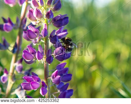 Little Bumblebee On Purple And Pink Lupine Flowers