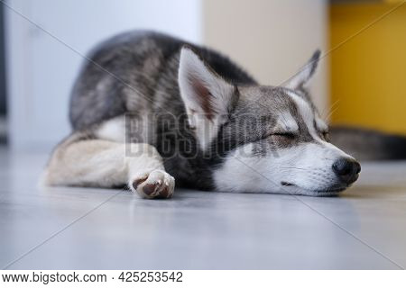 Small Husky Of Alaskan Klee Kai Breed Is Sleeping On Floor