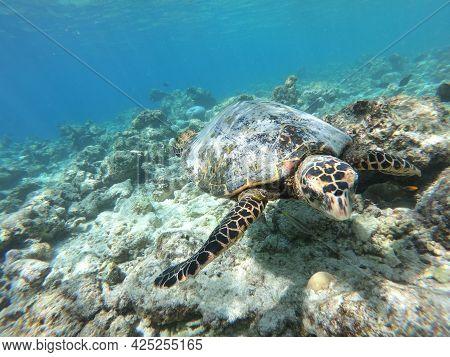 Tortoise Turtle - Eretmochelys Imbricata Floats Under Water. Maldives Indian Ocean Coral Reef.