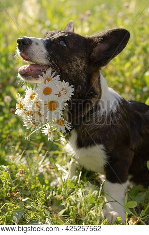 Beautiful Little Fluffy Corgi Cardigan Puppy In Nature. Close-up With White Flowers.