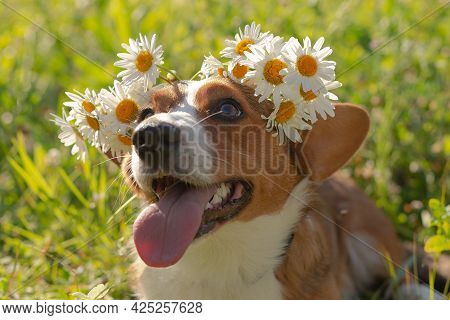 Cute Beautiful Little Dog Corgi Cardigan In Nature. Close-up With White Flowers.