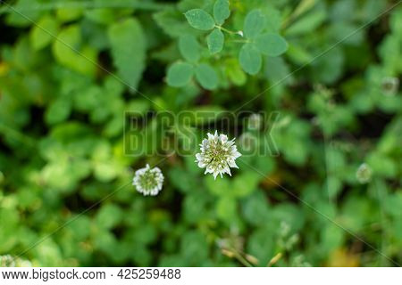 Creeping White Clover Flower On A Green Background Of Leaves.
