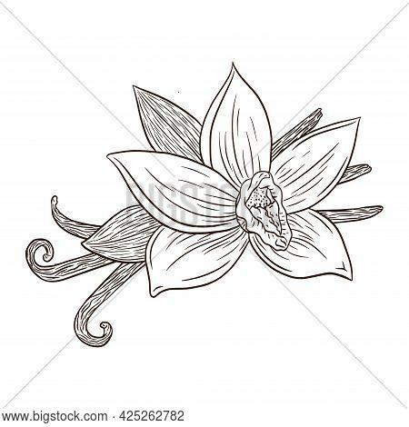 Line Art Vanilla Flower And Pods Engraving Illustration. Vanilla Blossom And Sticks Ink Vector Sketc