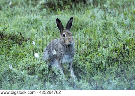 Closeup Of The Mountain Hare (lepus Timidus) Sitting In Wet Grass On Early Summer Morning In Finnish
