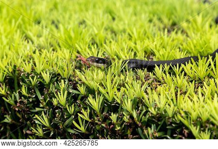 Southern Black Racer Snake Coluber Constrictor Priapus Perches On A Bush