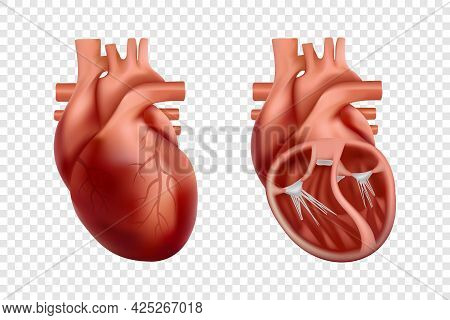 3d Human Heart Anatomy With Cross-section And Non Cut View. Anatomically Correct Realistic Heart