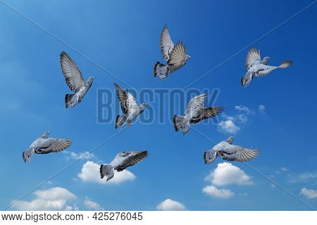 Movement Scene Of Group Of Rock Pigeons Flying In The Air Isolated On Blue Sky