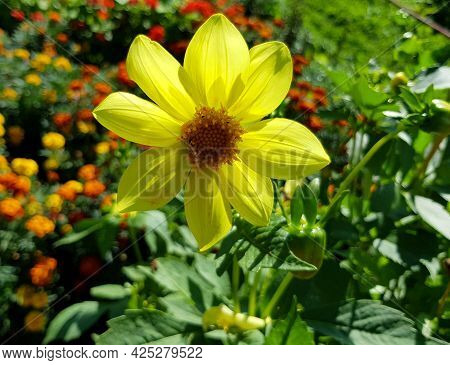 Beautiful Yellow Flower In The Garden, Botanical Photography.