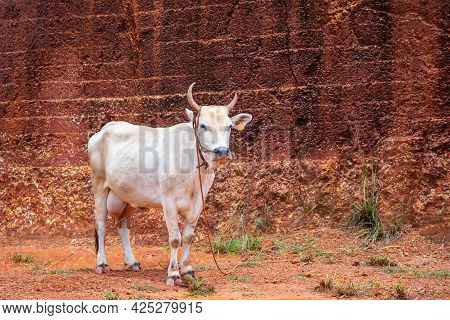White Cow Stands At Old Laterite Stone Quarry Field, White Cow Tied With Rope