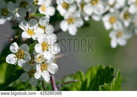 Branch Blooming With White Flowers On Blurred Natural Green Background.