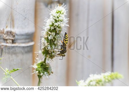 Macro, Photo, Still, Image Of Bee On Flower. Licks The Nectar From The Flower. Bee Licking Nectar Cl