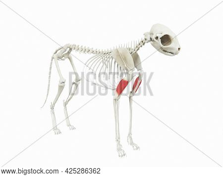 3d rendered illustration of the cats muscle anatomy - triceps brachii lateral head