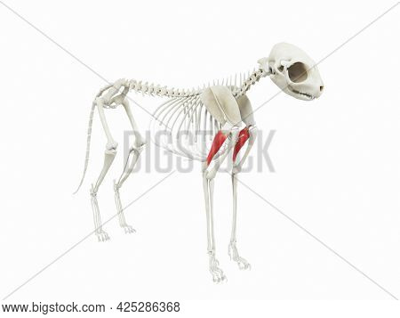 3d rendered illustration of the cats muscle anatomy - triceps long head