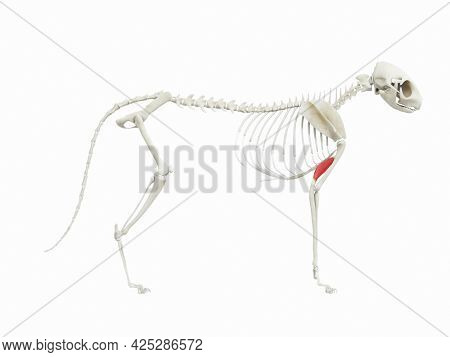 3d rendered illustration of the cats muscle anatomy - tensor fasciae antebrachii