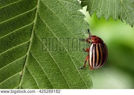Colorado Potato Beetle On Green Leaf Against Blurred Background, Closeup. Space For Text