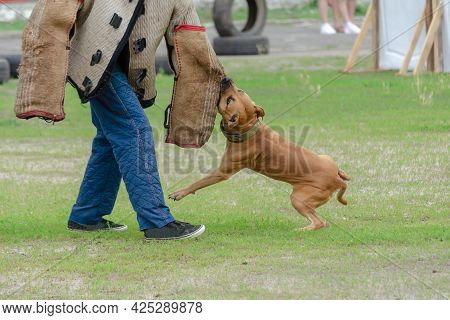 Police K9 Training With A Bite Decoy. An American Staffordshire Terrier Aggressively Attacks A Man W