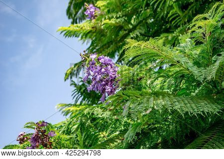 Floral Background Of Green Foliage Of Jacaranda Mimosifolia Tree With Panicle Of Purple Flowers Isol