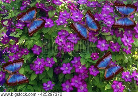 Colorful Blue Morpho Butterflies On Purple Clematis Flowers. Bright Tropical Background