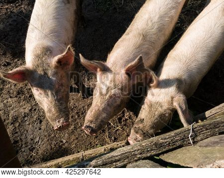 Three Dirty Pigs Stands Near A Wooden Fence Of Pig Pen, Livestock Cultivation At Countryside