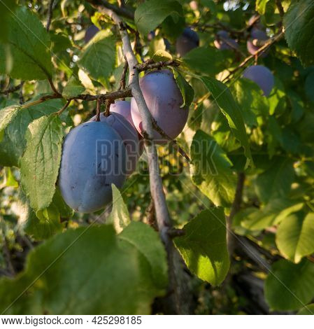 Close Up Of Bunch Of Ripe Blue Plums On Branch With Green Leafs, Fresh Tasty Fruit