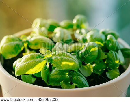 Fresh Green Potted Basil With Water Drops Or Dew In Sunset Sunbeam. Young Basil Leaves In Ceramic Fl