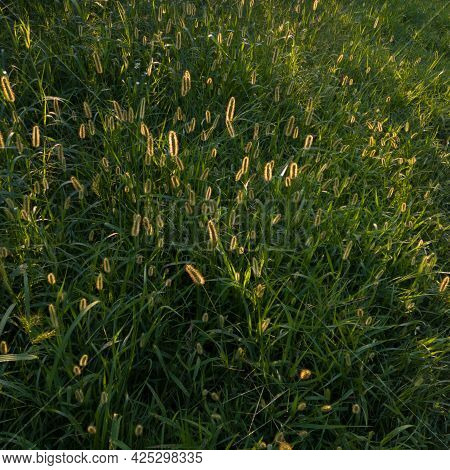 Backlit Bristle Grass In Field, Problematic Green Foxtail