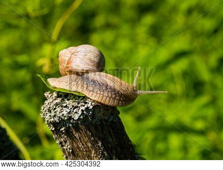 A Large Grape Snail Sits On A Wooden Fence In The Garden. Summer Concept