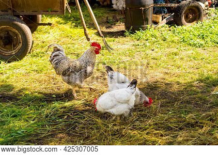 Rooster And Hen Eating In Hay Stock.the Rooster And The Hen Enjoy The Straw At Farm. Chicken On A Pi