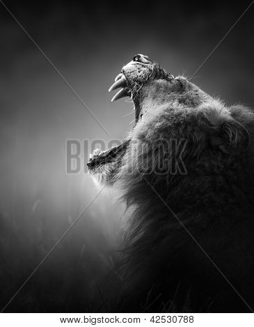 Lion displays dangerous teeth - Kruger National Park - South Africa